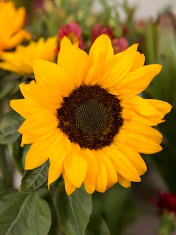 Primo piano del girasole giallo in fioritura