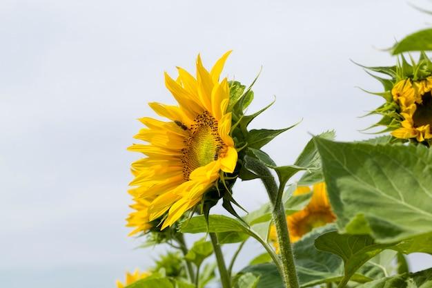 Primo piano sul girasole giallo
