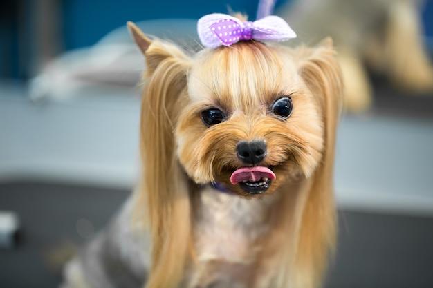 Primo piano su yorkshire terrier dopo il taglio di capelli