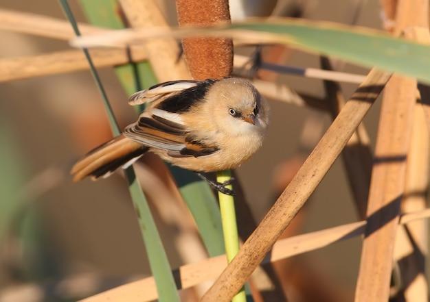Close up giovane tetta barbuta si siede su un ramo di una canna