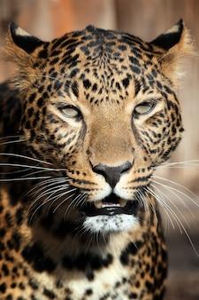 Ritratto di giovane leopardo da vicino