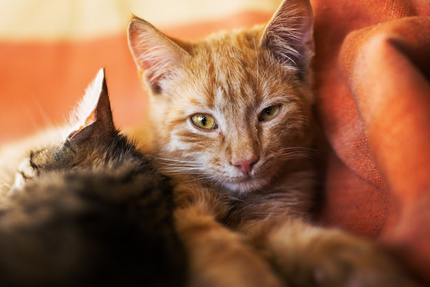 Chiuda in su di giovane gatto arancione che esamina la macchina fotografica mentre un altro gatto che dorme accanto a lei.