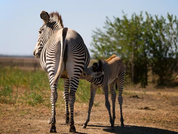 Primo piano sulla mamma zebra che alimenta il suo puledro