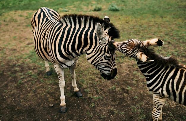 Primo piano di una zebra con un puledro che cammina in una riserva naturale con erba verde.
