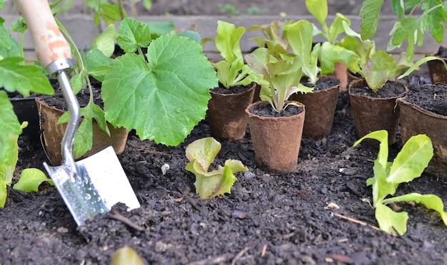 Vicino a piantine di ortaggi in pentola di torba messe sulla terra in un giardino con una pala per piantare