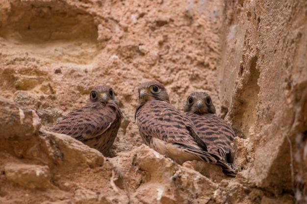 Vista vicina di un mazzo di pulcini di falco pellegrino selvatico su un edificio abbandonato.