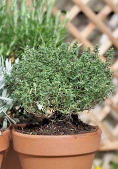 Closeon timo in vaso in un giardino