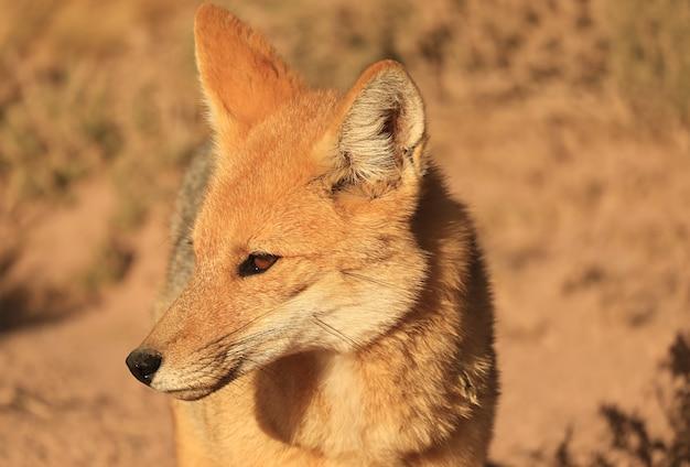 Primo piano un adorabile volpe andina o zorro culpeo trovato all'altipiano cileno nel nord del cile