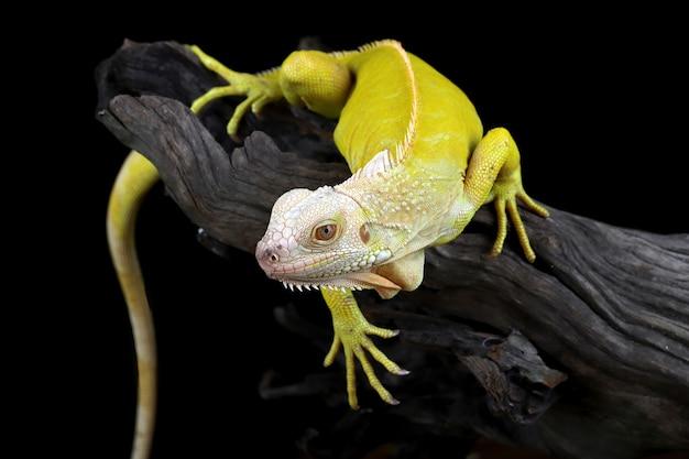 Primo piano dell'iguana albino su legno