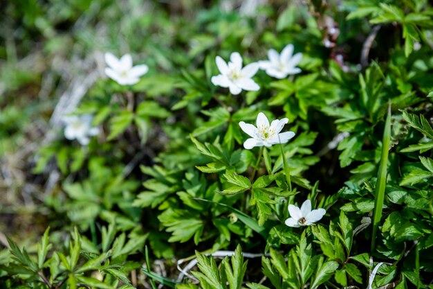 Closeup anemone sylvestris chiamato anche anemone bucaneve nel giardino di primavera.