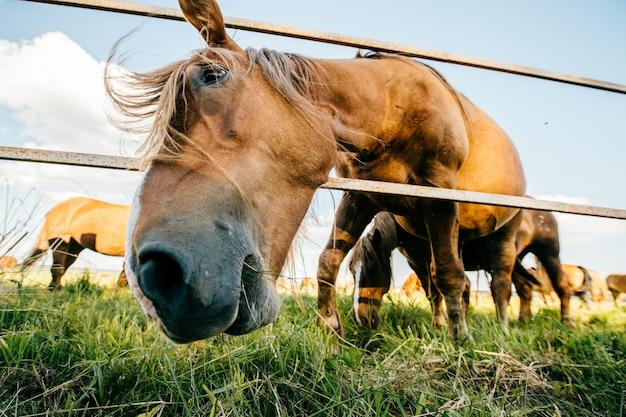 Ritratto divertente di umore artistico del primo piano del cavallo al pascolo all'aperto alla natura. bellissimo muso equino. agricoltura e allevamento in estate. fauna di animali domestici di mammifero. mustang selvatico forte