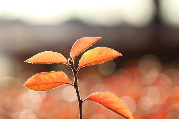 Primo piano di un ramo di crespino con foglie rosse in controluce su uno sfondo autunnale sfocato naturale