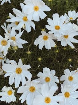 Primo piano di bellissimi fiori di camomilla. sfondo floreale estivo