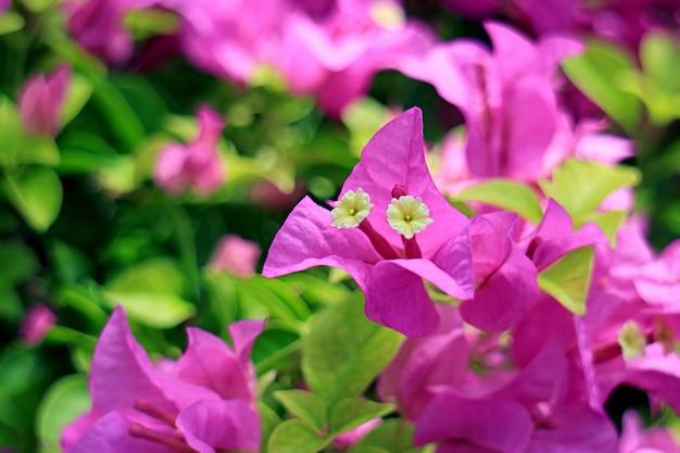 Primo piano bella rosa calda bougainvillea glabra sull'albero