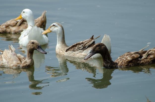 Primo piano di belle le anatre domestiche in acqua