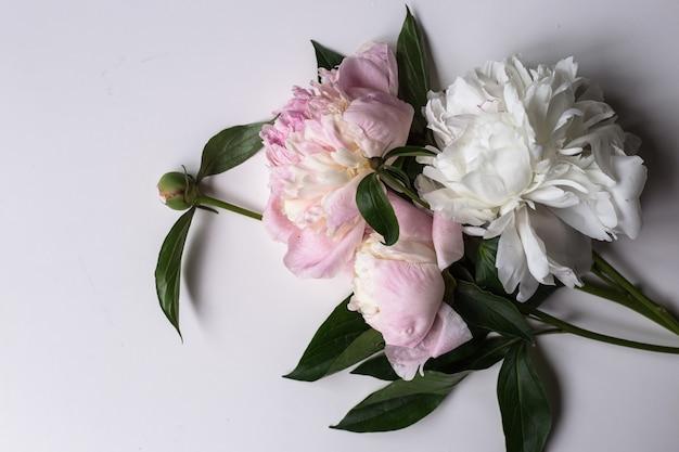 Primo piano di un bel fiore rosa e bianco peonie sul tavolo luminoso