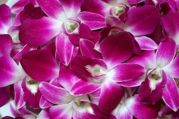 Bello fondo porpora del fiore dell'orchidea del dendrobium del primo piano?