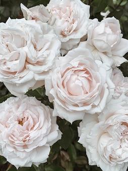 Primo piano di bellissime rose fiori. sfondo floreale estivo