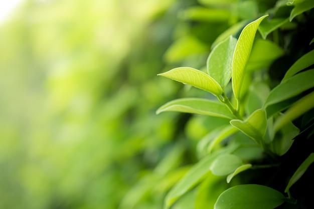 Bella vista del primo piano delle foglie verdi della natura sul fondo vago dell'albero della pianta con luce solare nel parco del giardino pubblico.