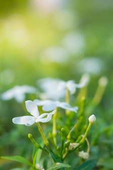 Primo piano bellissimo fiore bianco. fioritura in giardino. gerdenia crape jasmine