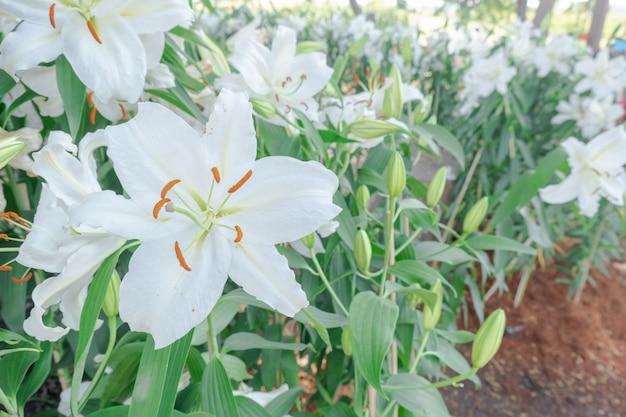 Bella tigre bianca del primo piano fiore lilly