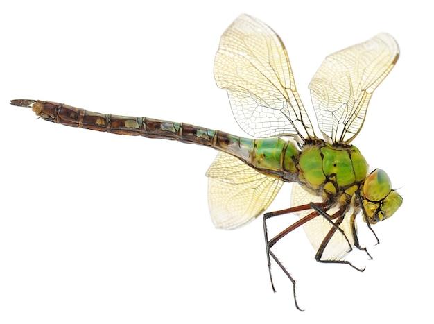 Primo piano di grande libellula verde sopra bianco