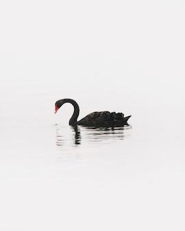 Primo piano di un cigno nero in un lago tekapo, nuova zelanda