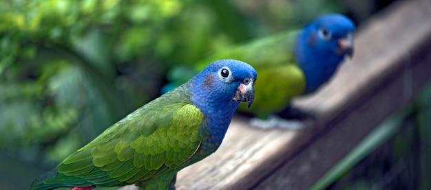 Primo piano del pappagallo intestato blu