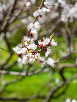 Primo piano di un ramo di un'albicocca in fiore con fiori bianchi sfondo verde sfocato