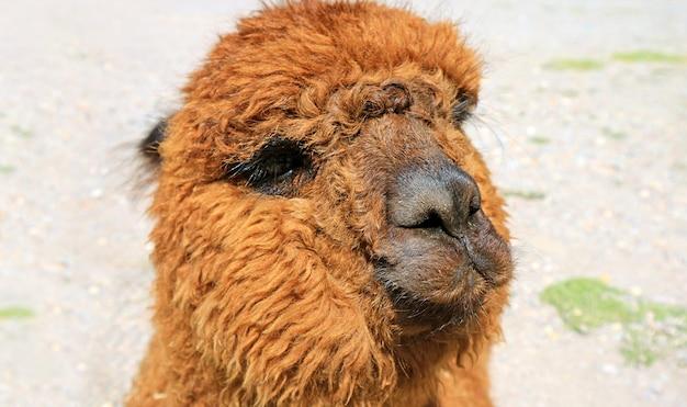 Primo piano di un marrone soffice alpaca face, perù, sud america