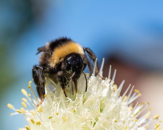 Un primo piano di un calabrone su un polline di fiori di cipolla gialla. raccolta del polline per la produzione di miele