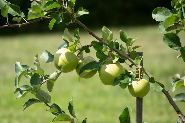 Primo piano di un mucchio di mele rosse organiche bio che crescono sui rami di un melo in un orchad