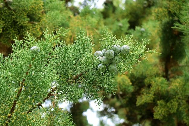 Primo piano un mazzo di pigne verdi del bambino sull'albero di pino