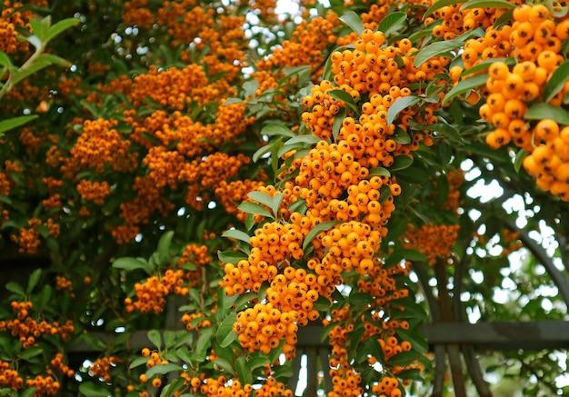 Primo piano mazzetto di vividi frutti arancioni di agazzino (pyracantha) che crescono sul recinto