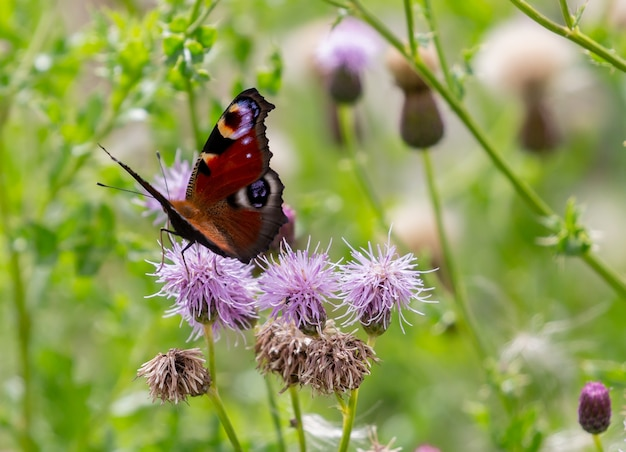 Primo piano di una farfalla su un fiore viola