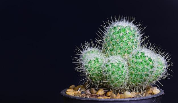 Isolato del cactus del primo piano sul nero