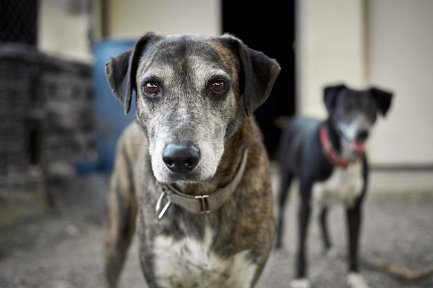 Un primo piano di un cane catahoula con un altro cane sullo sfondo
