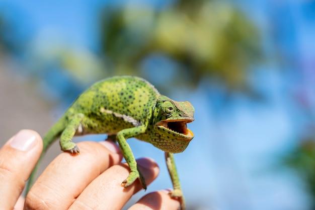 Primo piano di un camaleonte che si siede su una mano sull'isola di zanzibar
