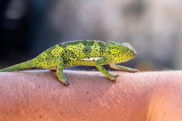 Primo piano di un camaleonte che si siede su una mano