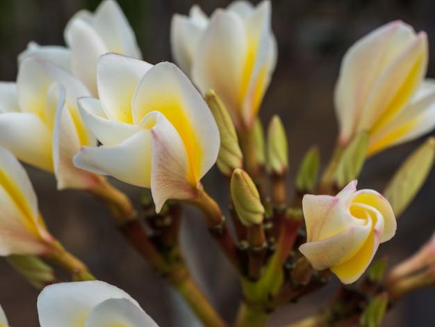 Fiore del champa del primo piano sbocciare nel giardino