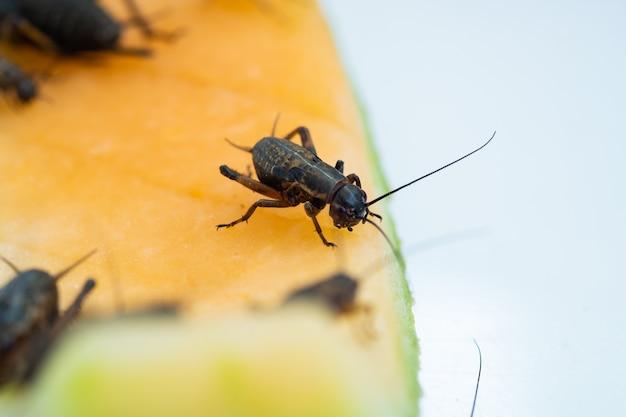 Grilli del primo piano che mangiano cibo, piccolo insetto