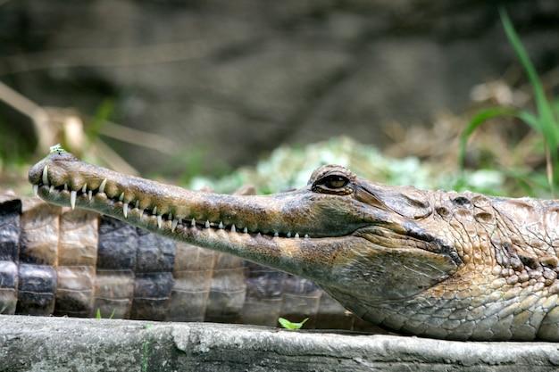 Primo piano di un coccodrillo con una magnifica pelle ruvida e denti affilati