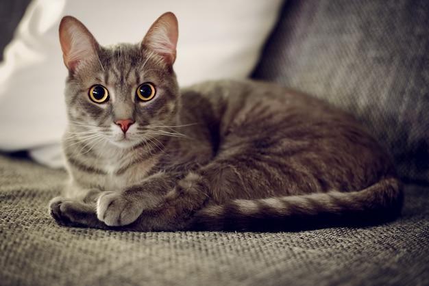 Primo piano di un simpatico gatto domestico sdraiato sul divano con uno sfondo sfocato