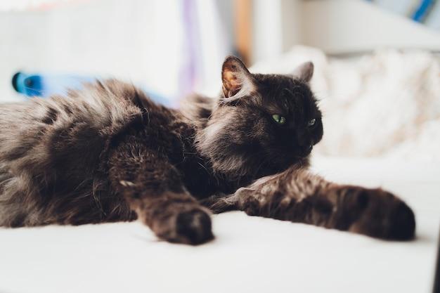 Primo piano di carino domestico gatto di casa felis catus rilassante al coperto a casa seduto sul tavolo.