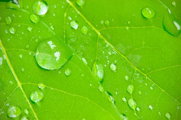 Gocce di rugiada del primo piano sulle foglie la luce del sole del mattino e l'ambiente verde.
