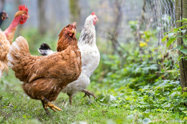 Primo piano del pollo domestico che si alimenta sull'aia rurale tradizionale. galline sul cortile del fienile in fattoria ecologica. concetto di allevamento di pollame ruspante.