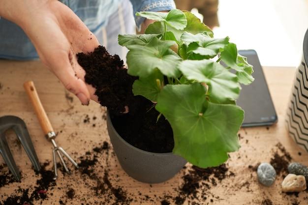 Primo piano delle mani femminili sono impegnate nella coltivazione e nella piantagione di fiori domestici