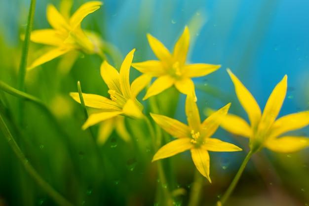 Un primo piano di cinque fiori gialli con le gocce di pioggia