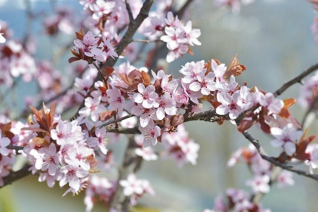 Primo piano sui fiori di un albero di prunus ornamentale che fiorisce in primavera
