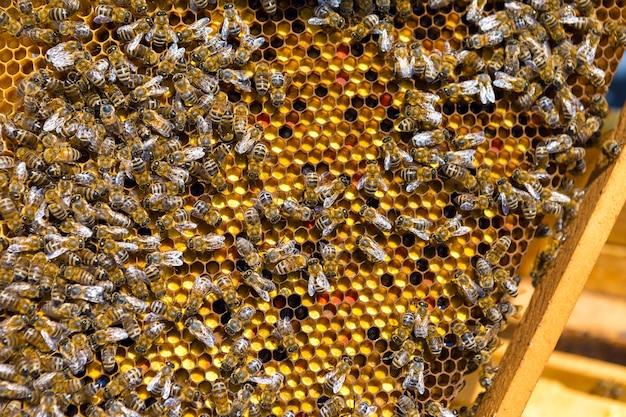 Primo piano di un telaio con un favo di cera di miele con le api su di loro. flusso di lavoro dell'apiario.